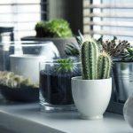 Pestovanie kaktusov v interiéri – ako sa o ne starať?