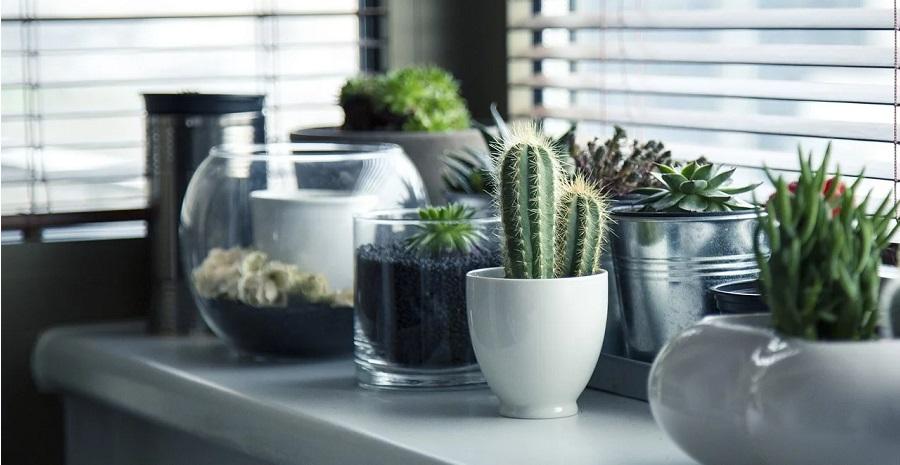 Pestovanie kaktusov v interiéri - ako sa o ne starať?